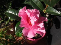 bright blooming camellia