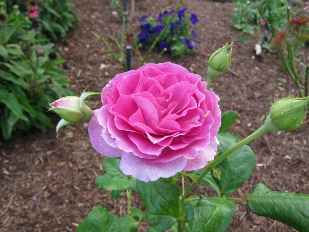 My favourite scent - 'Sweet Intoxication' rose